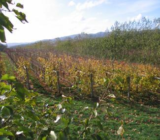 CORRELATION OF VINEYARD IMAGERY WITH PINOT NOIR YIELD AND VIGOUR