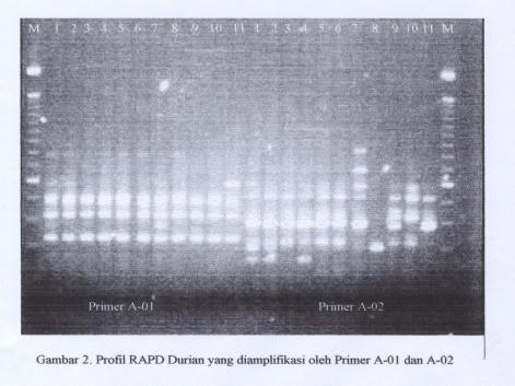 B. Identification and classification of durian based on molecular analysis (PCR-RAPD) Molecular analysis with RAPD technique used 18 single primers resulted 10 primers that showed DNA polymorphism