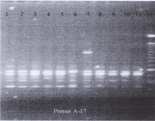 Amplification of DNA durian with OPA-13 primer resulted clear bands. Amplification of DNA resulted 3 patterns: I.