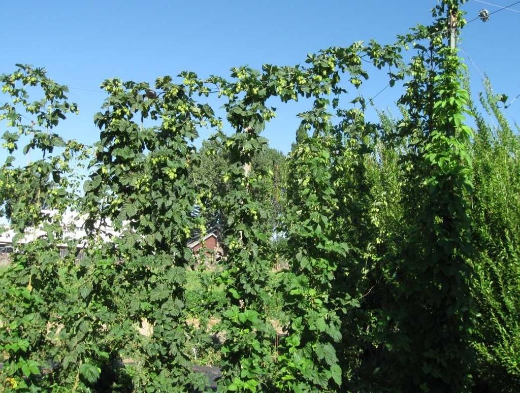 Hood 4-7 Aroma Willamette 4-7 Aroma Hop Yard Requirements Space Infrastructure Trellising Main poles & cables Trolley wires String (twine) for