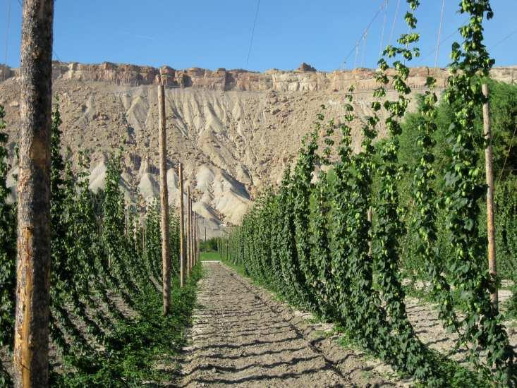 Hop Yard Requirements Space Requirements Vertical Space: 16-20 ft unobstructed Field Space: Typically: 1100 plants per acre 12 ft rows x 3.