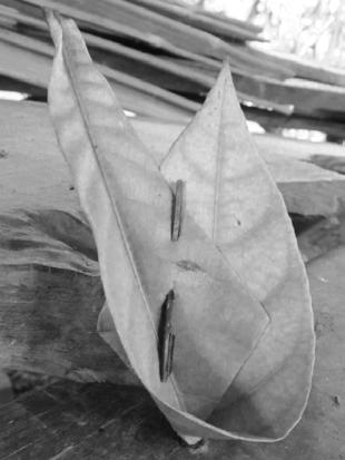 of teban leaves. Pound and place them inside a funnel-shaped senek leaf. Place them over fire and wait until the leaves are warm and withered.