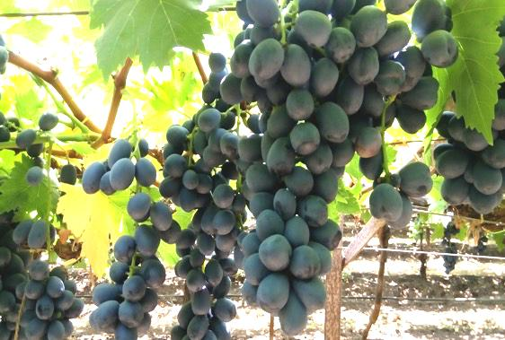 Fantasy Black Seedless Black variety Fantasy Seedless is well accepted in UK, but plantations are very small because it is difficult to grow due to low