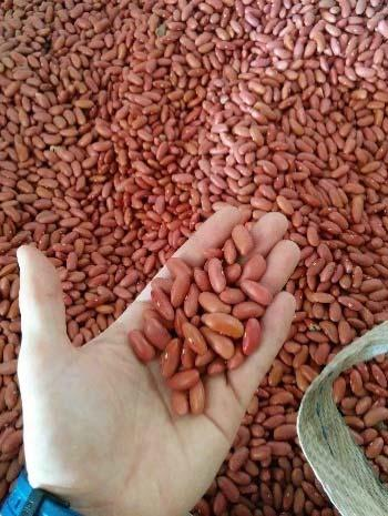 Left: Due to the use of the same seeds year after year, it is normal to find issues with the uniformity of the beans. This picture is of 2017 crop alubias in Salta.