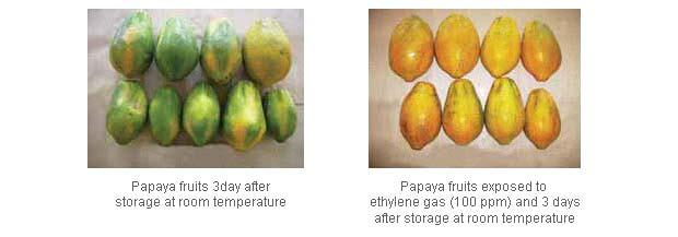 Uniform ripening of papaya fruits using ethylene gas Fruit ripening using calcium carbide Most climacteric fruits in India are ripened with industrial grade