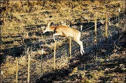 DEER NEED FENCES TO