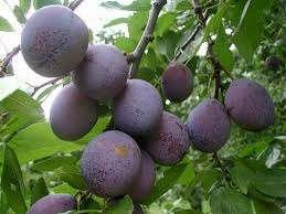 PLUMS AND