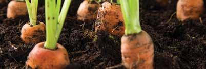 CARROT NOVEMBER Carrots are root vegetables like potatoes, turnips and beets. The roots of these vegetables are edible.