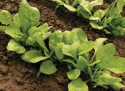 SPINACH DECEMBER Spinach is a leaf vegetable, also called potherb, vegetable green, leafy green and salad green. Store immediately in the coldest part of the refrigerator.
