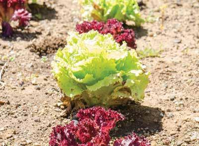 RED LEAF LETTUCE FEBRUARY Red leaf lettuce has a mild, crispy texture and is often used in salads. Its color is either red or reddish-purple.