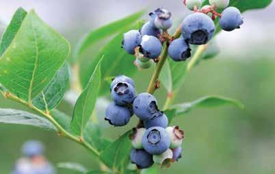 BLUE BERRY MAY Blueberries are plump, juicy and sweet berries that grow on bell-shaped, white, pale pink or red flowers.