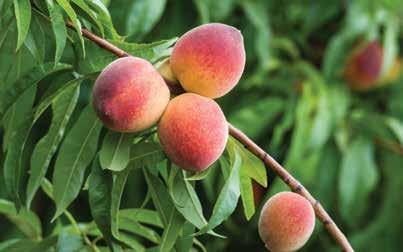 PEACH JUNE Peaches are stone fruits. Stone fruits have large pits in their centers. Peaches are known by their yellow and red fuzzy skins.