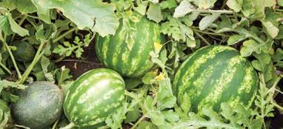 WATER MELONS SEPTEMBER Watermelon has a smooth hard rind, usually green with dark green stripes or yellow spots.