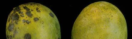 Heat Treatment Reduces Anthracnose Incidence and Severity on Mangoes Stem-End