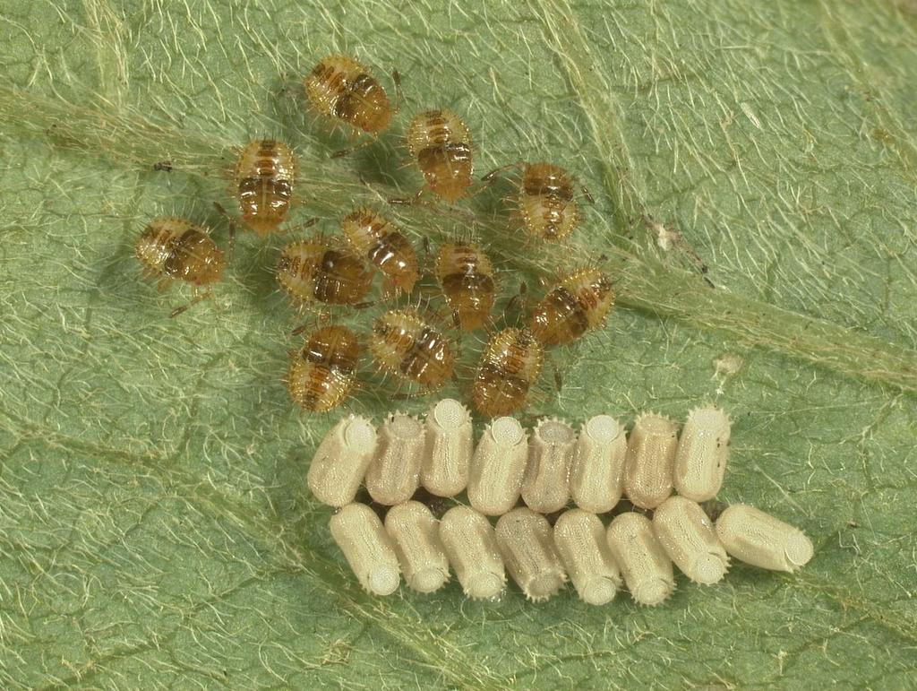 First Instar Nymphs