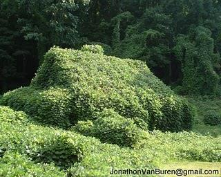 Kudzu: the vine that ate the South