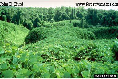 Kudzu Facts Native to Asia kudzu was introduced in 1876 at the Philadelphia Centennial Exposition by Japan Initially promoted as an ornamental In early 1900 s it was