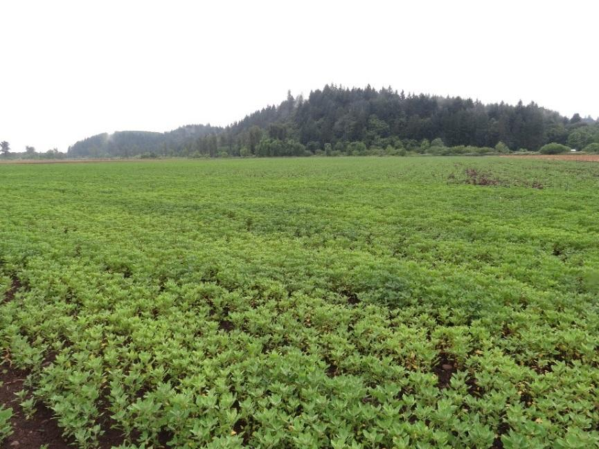 Growing Quinoa in the WV Multiple seasons of experience in Salem, OR area Grown in