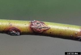 Botryosphaeria Stem Canker Caused by a fungus Symptoms Small red lesions on stems develop into cankers Stems may become girdled and die Fungus infects current season s growth in late spring, but