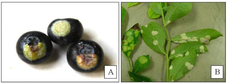 Exobasidium Fruit and Leaf Spot Caused by a fungus Symptoms Green, unripe spots on fruit when ripe Light green leaf spots on upper side of leaf that are white are the underside of the