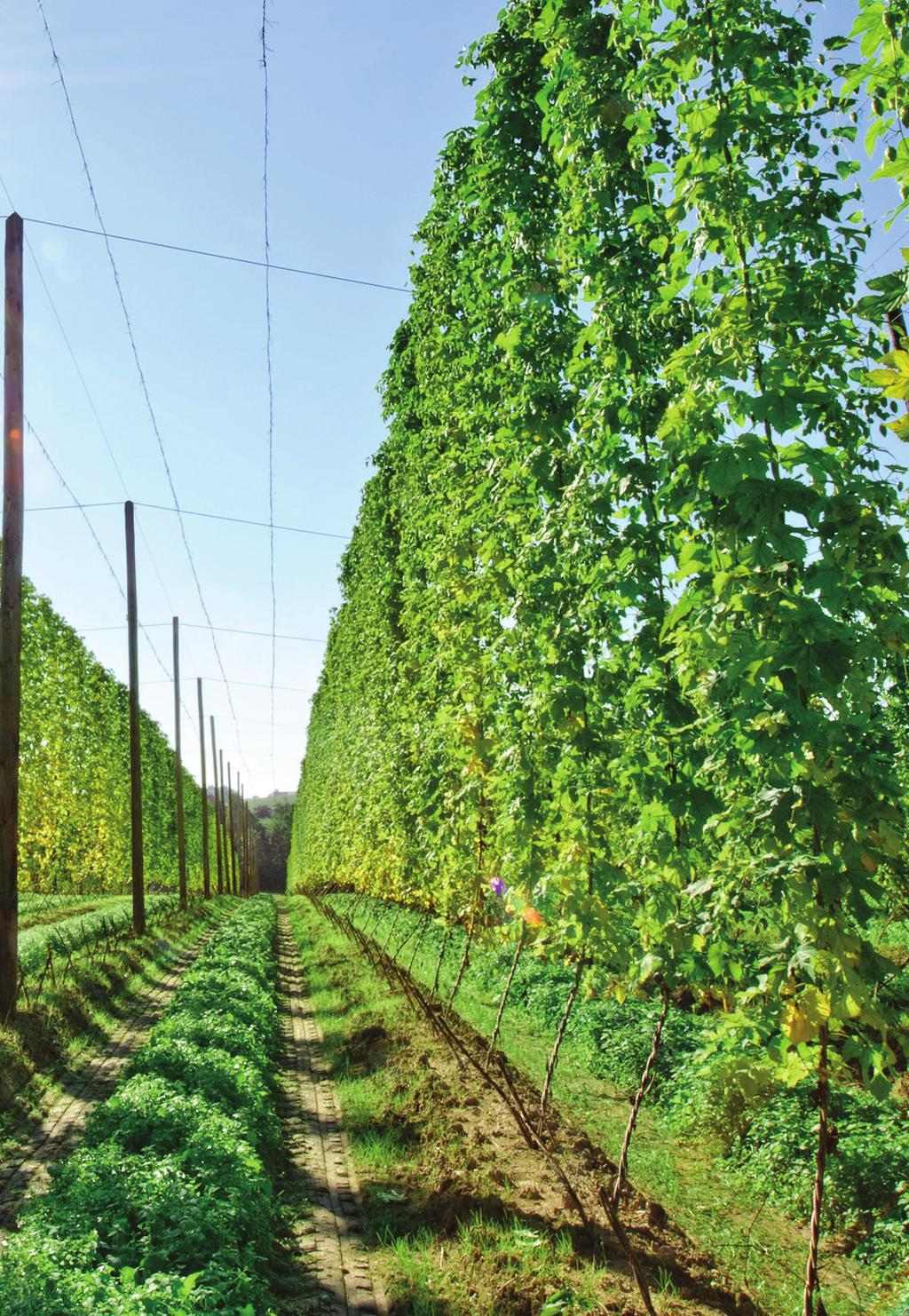 Introducing the hop Humulus Lupulus One of the 4 key raw materials used in beer, hops provide the brewer with many functional benefits; bitterness, aroma, flavour, mouth feel, foam stability and