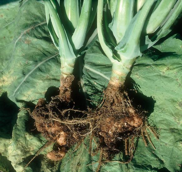 Cabbage (Brassica oleracea, Capitata) Club root: -Caused by a fungus Plasmodiophora brassicae.