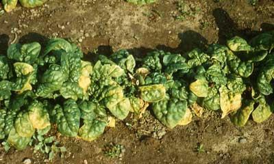 Diseases Mosaic Spinach (Spinacia oleracea) -Commonly known as blight.