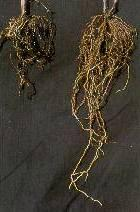 Nematode Damage Left: grapevine roots damaged by lesion nematodes Right: a healthy root system