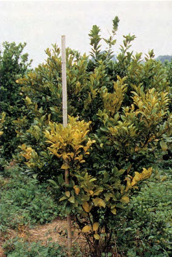 Symptoms of Greening Tree stunting Sectoring of symptoms Heavy leaf drop Off-season flushing