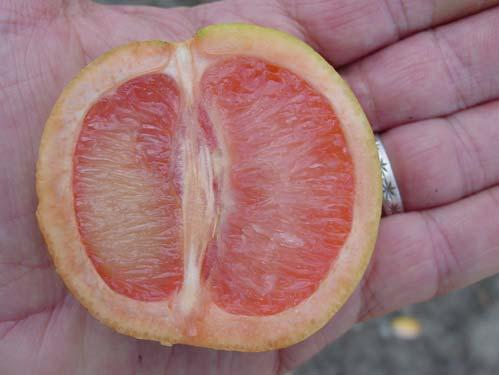 Fruit symptoms Fruit may be small, lopsided and taste bitter or