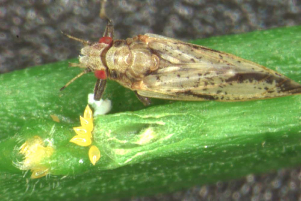 Asian citrus psyllid female and eggs on newly-emerged growth flush.