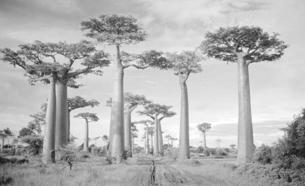 32 Barbary Coast Baobab trees line a road near present-day Morindava, Madagascar. Chris Heller/Corbis by other valuable items.