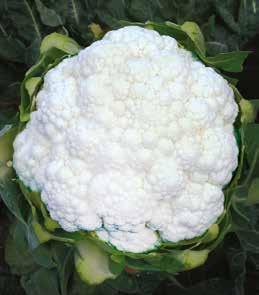 CAULIFLOWER Plant Habit Maturity (Days after transplanting) Curd Cover Curd Shape Curd Weight (kg) Curd Colour Firmness Remarks SUBTROPICAL DEEPTI F1 Erect 60-70 **** Dome 0.8-1.