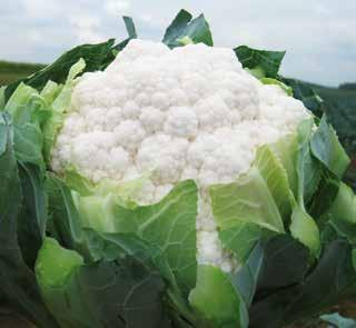 CAULIFLOWER Plant Habit Maturity (Days after transplanting) Curd Cover Curd Shape Curd Weight (kg) Curd Colour Firmness TEMPERATE GOLD QUEEN-2 F1 Erect 75-80 *** Dome 1.0-1.