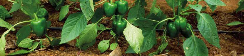 CAPSICUM Plant Habit Lobes Fruit Weight (g) Fruit Colour Production slot Disease Resistances Remarks ASHA F1 Compact 3-4 180 Dark green to red Open