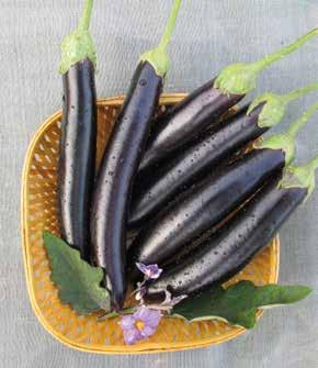 EGGPLANT PURPLE / BLACKISH PURPLE Plant Habit Maturity Days (1st harvest after transplanting) CHOO-CHOO F1 Compact 70 GALINE F1 Erect and tall 75-80 Fruit Shape Elongated bell Big bell shape Fruit