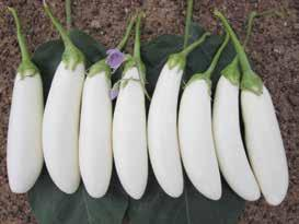 EGGPLANT GREEN GREEN LONG F1 GREEN KING F1 Plant Habit Erect and tall Bushy compact Maturity Days (1st harvest after transplanting) Fruit Shape Fruit Weight (g) Fruit Colour Calyx colour Bearing