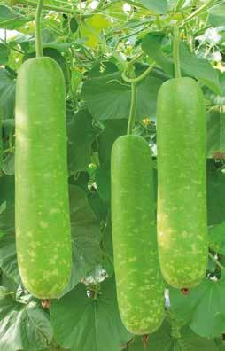 BOTTLE GOURD CYLINDRICAL Maturity Days (1st harvest after sowing) Shape Length Fruit Size (cm) Diameter Weight (kg) Colour AMRIT F1 50-55 Cylindrical 35-40 5-6 0.7-0.