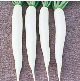 White 35 3-4 120-130 White Smooth Globe 7 2.5-3 200-250 White with purple top C-05 F1 Radish-Turnip Early & attractive white roots.