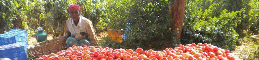 TOMATO SALADETTE Plant Habit Maturity Days (1st harvest after transplanting) ALANKAR F1 Determinate 80-85 ANJU F1 (CLXTO205) Fruit Shape Square round Fruit Weight (g) Colour Fruit Firmness Disease