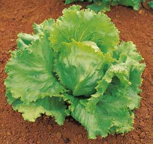 LETTUCE SHEETAL Iceberg Attractive head, harvest in 50-55 days. Average weight 800-850 g. LETTUCE VARDAC Green batavia IR: LMV Versatile variety. Slightly upright with well closed base.