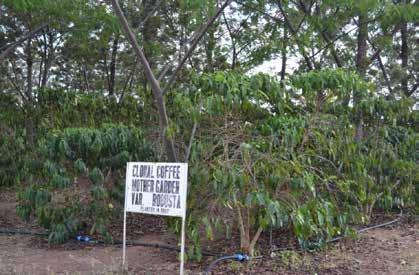 5.4.5 Challenges with Coffee Seedling Multiplication and Distribution. The different methods of seedling propagation, and challenges associated with them are discussed in this subsection.
