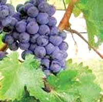 CONCLUSION GRAPE GroWING IN ONTARIO The Ontario grape and wine industry is dynamic, complex, and exists in a tight supply/demand balance.