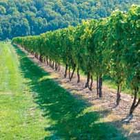 Site Considerations in Growing Grapes Climatic conditions are the key consideration in grape growing including: Growing Grapes in Ontario s Cool Climate Growing grapes in Ontario has some unique