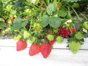 Strawberries as a rotational crop to tomatoes Attract consumers to come and buy other produce Double cropping with tomatoes Direct selling value