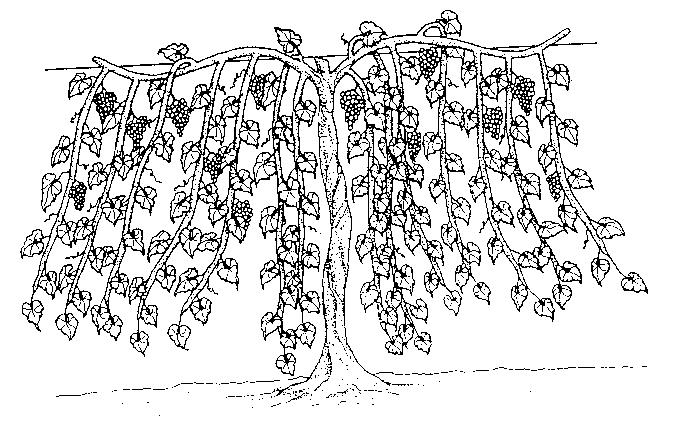 PRUNING There are many ways to prune and train grapes. For a detailed description of each method, refer to WSU Extension Bulletin EB 0637 Training and Trellising Grapes for Production in Washington.