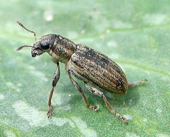 Pea Leaf Weevil : Sitona lineatus Linnaeus Monitoring Protocol Host plants: Plants belong to the family Leguminaceae including cultivated and wild legume species and specifically dry beans, faba