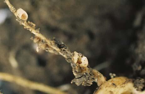 develop through five instar stages. After hatching, larvae seek and enter the roots of a pea plant. Larvae will enter and consume the contents of the nodules of the legume host plant.