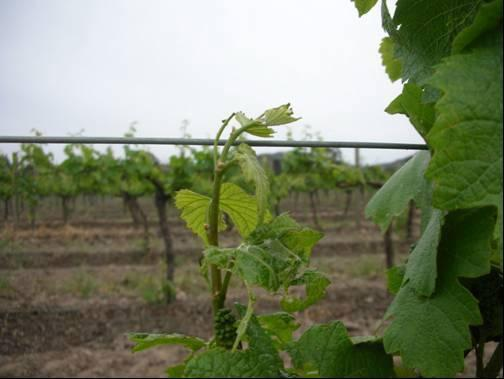 Wine Australia Factsheet Light brown apple moth 3 to the presence of surrounding host plants are often evident as an edge effect in the vineyard, where higher numbers of LBAM are detected closer to