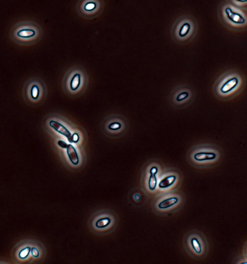 Native Yeast Brettanomyces bruxellensis Aroma defects in wine: